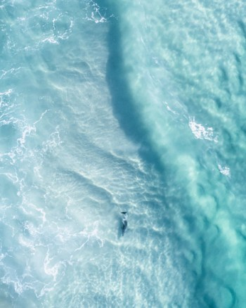 Aerial Of Dolphin Swimming At Byron Bay