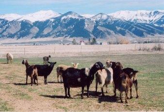 11771_goats1-500.jpg
