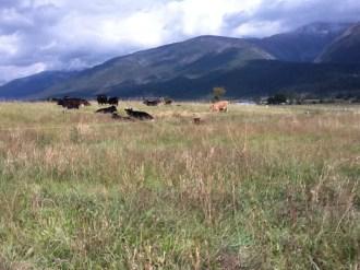 12635_cow-cow.jpg