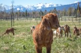 17022_20150416-47-baby-goat.jpg
