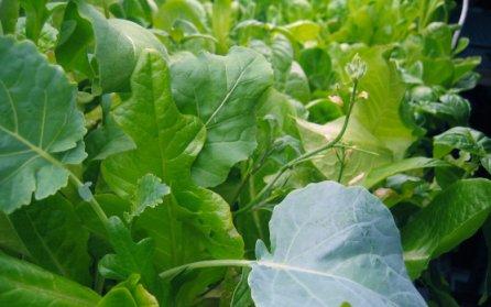 Aeroponic Companion Plantings