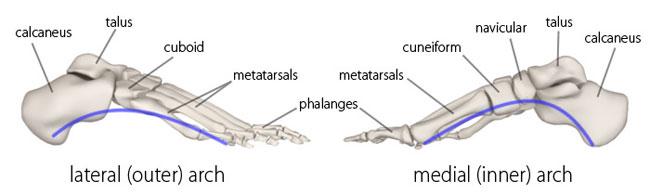 костные дуги стопы