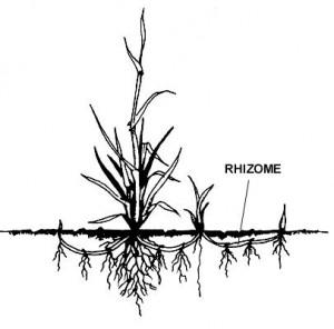 rhizome2