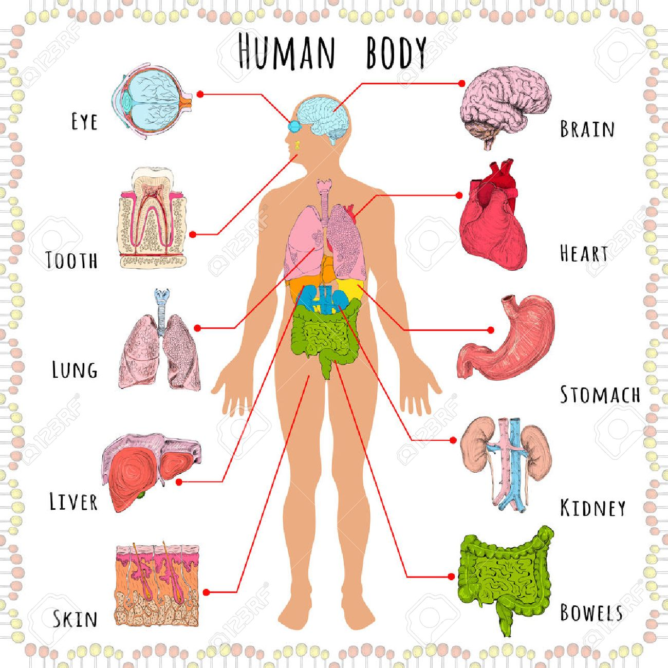 How Do Adjustments Help My Organs Function Better