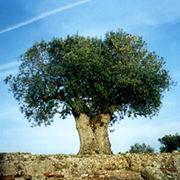 grey شجر الزيتون فلاحة   olive2 شجر الزيتون فلاحة