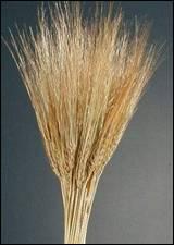 Wheat-Barley الشعير وصية نبوية أغلى من الذهب  فلاحة