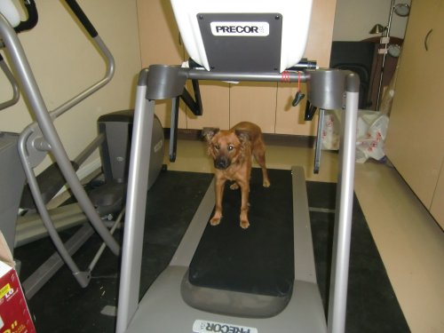 Treadmill dog