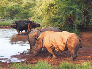 Rhinos and Buffalos