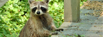 Wildlife Control, Wildlife Removal, Squirrel Removal, Raccoon Removal, Affordable Wildlife Control