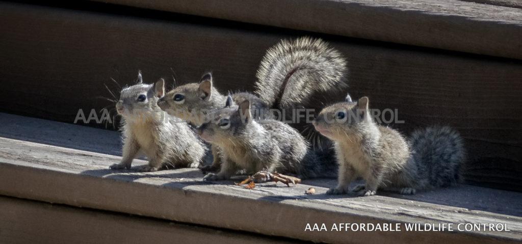 Squirrel, Raccoon Baby Season in Toronto - AAA Affordable Wildlife Control