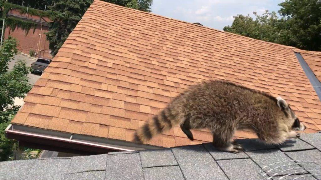 Raccoon Removal Fron Attic in Toronto