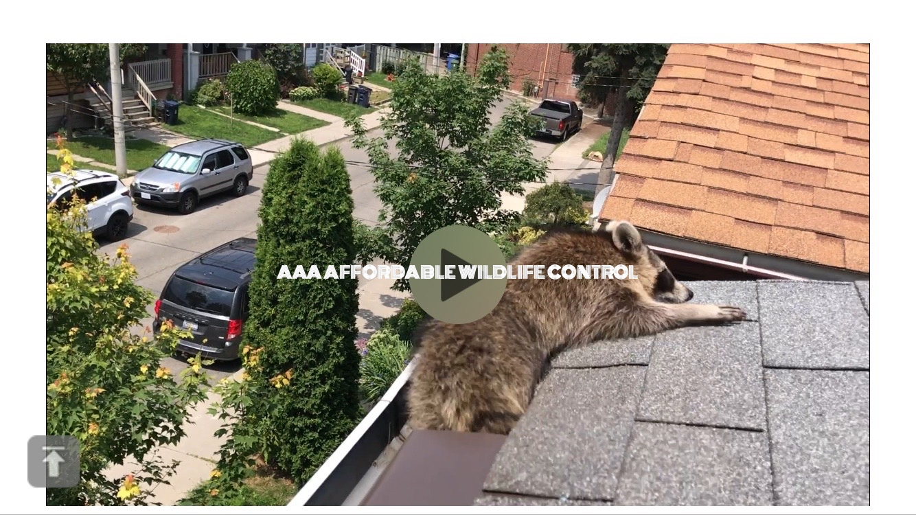 Racoon Removal Toronto