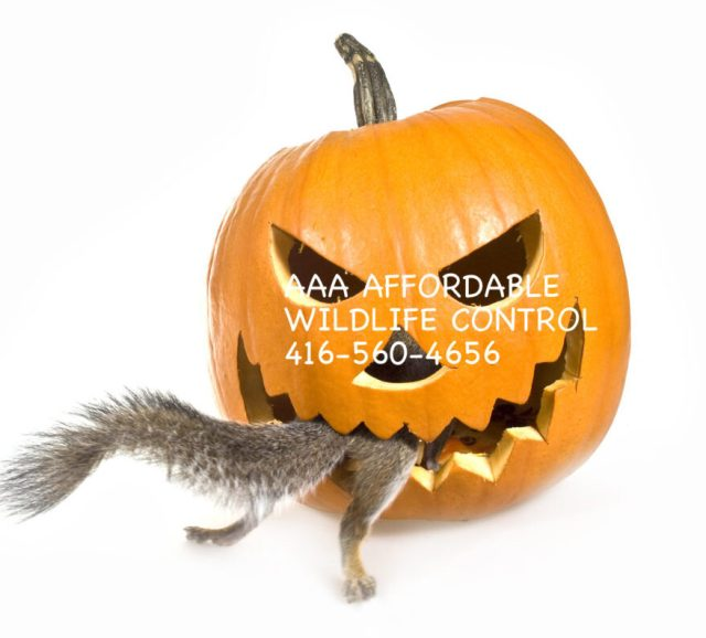 Best Fall Wildlife Control Tips , Best Raccoon Removal Advice, Best Squirrel Removal Tips