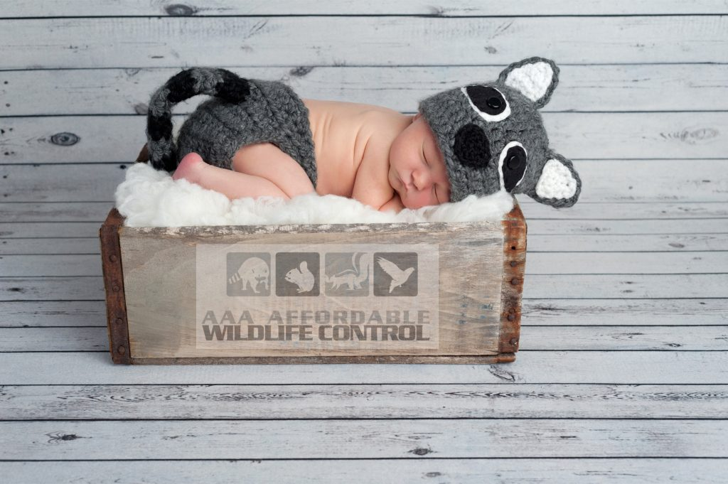 Baby Removal - When Do Raccoons Have Babies in Brampton