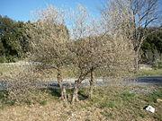 L'olivier et le froid - Frondaison gelée