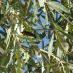 cantharide-feuilles-devoree