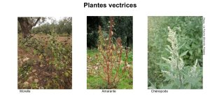 Plantes vectrices verticilliose