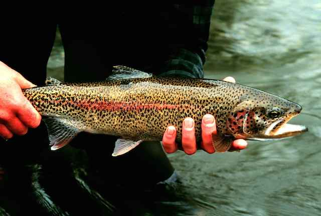 Rainbow_trout_fish in lesotho