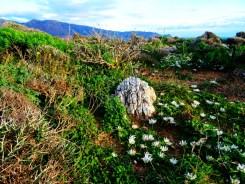 Un parterre de fleurs endémiques... propre à cette côte de la Crète