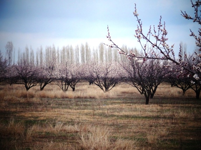 Abricotiers au printemps