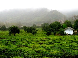 Culture de thé