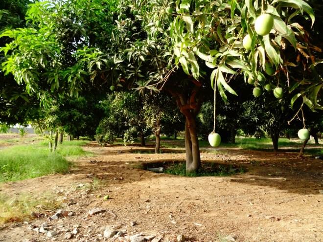 Nectar de mangue...