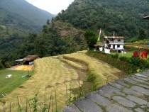 Coupe du riz à la faucille