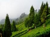 Inde : Plantation de the du Sikkim