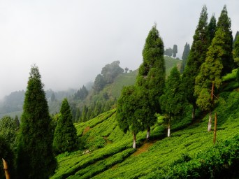 Inde : Plantation de the du Sikkim