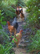 chicken-going-errand