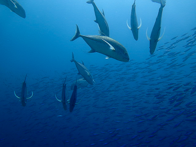 Blue-fin trevallies. Komodo National Park, Indonesia.