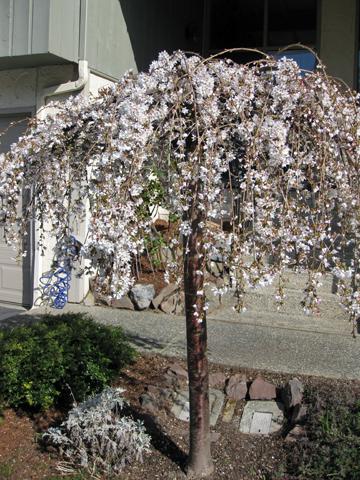 spring_tree1