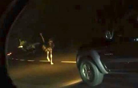 VIDEO: Automovilistas graban a avestruz corriendo sobre la carretera México-Toluca
