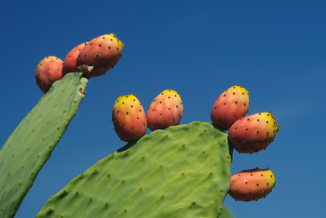 prickly pear crop