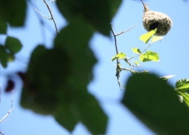我が家の庭に植わっている桑の木に巣を作るハタオリドリ