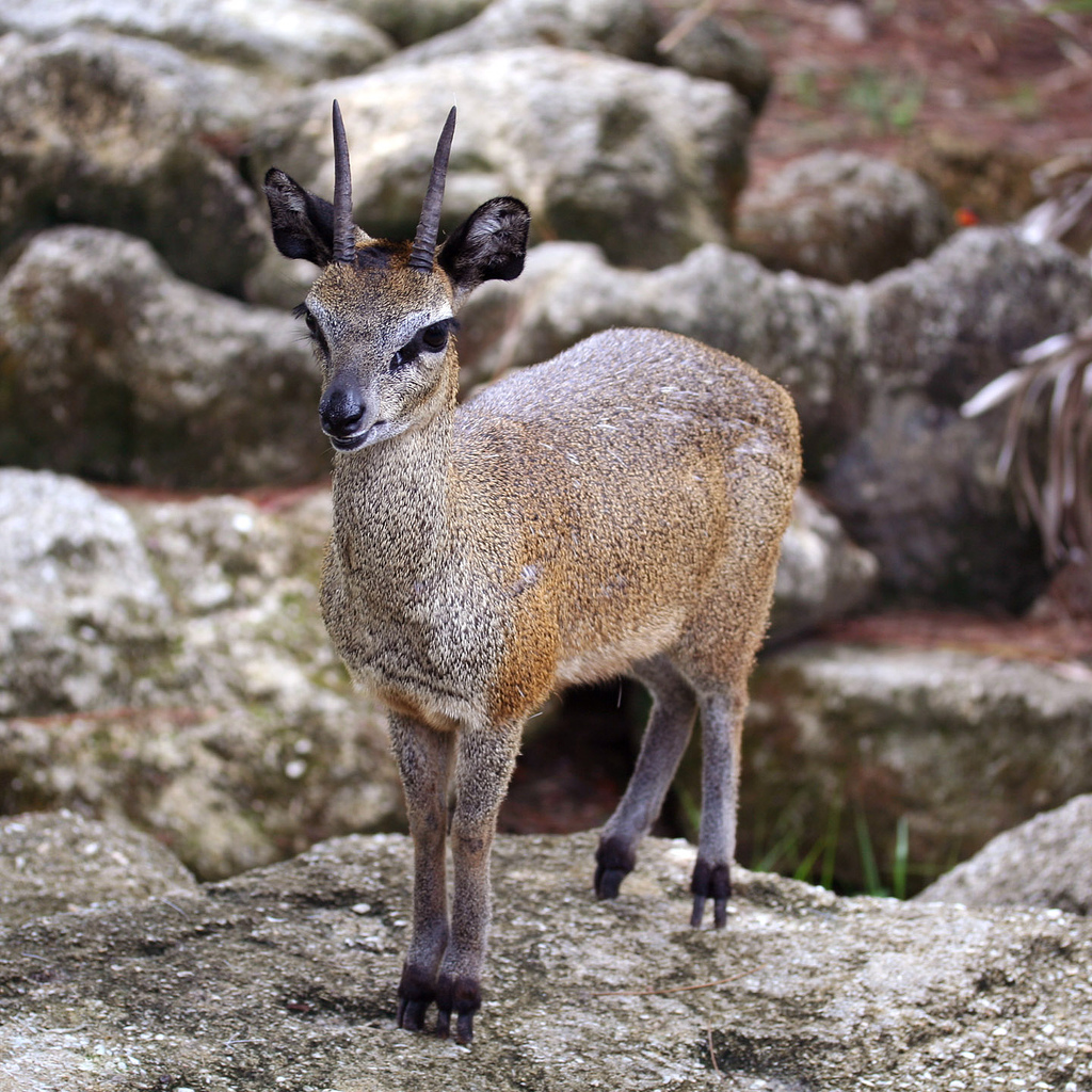 We spotted two Klipspringer in the fynbos near our