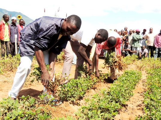 Uprooting the groundnuts to look at the yield