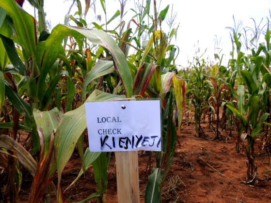The local variety grown by the farmers and against which they are the comparing performance of new varieties on trial.