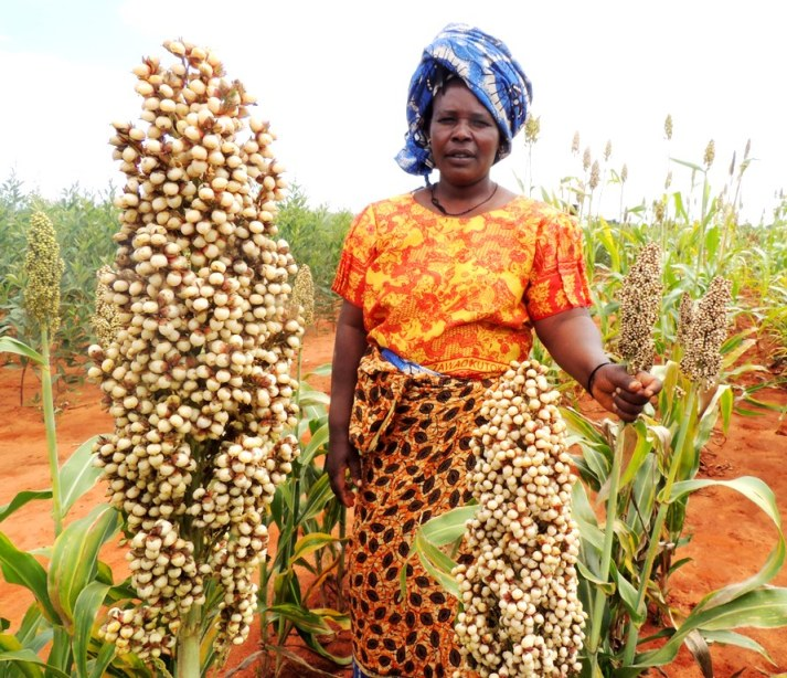 A farmer poses with the new improved sorghum varieties under trial