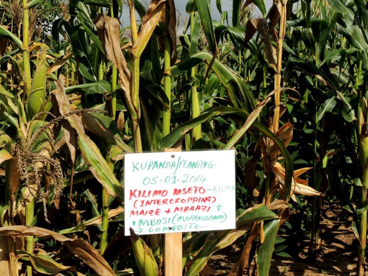 Intercropping of maize and legumes - one of the technologies being piloted in the region.