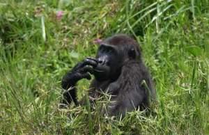 5 days Rwanda Congo Gorilla Tour
