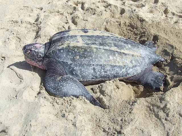 'A Turtle is Worth More Alive Than Dead'