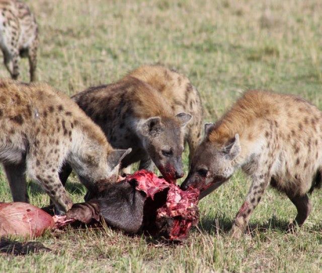 Hyenas Feeding