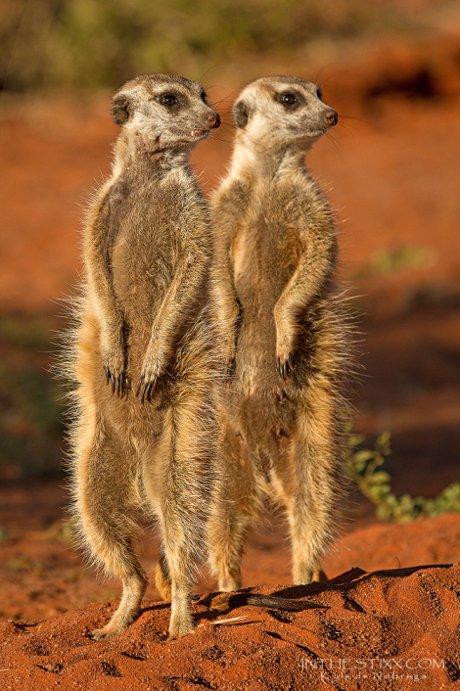 Kalahari Wildlife Showdown Africa Geographic