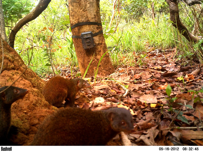 Pousargues's mongooses © African Parks