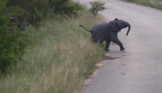 elephant-chasing-swallows