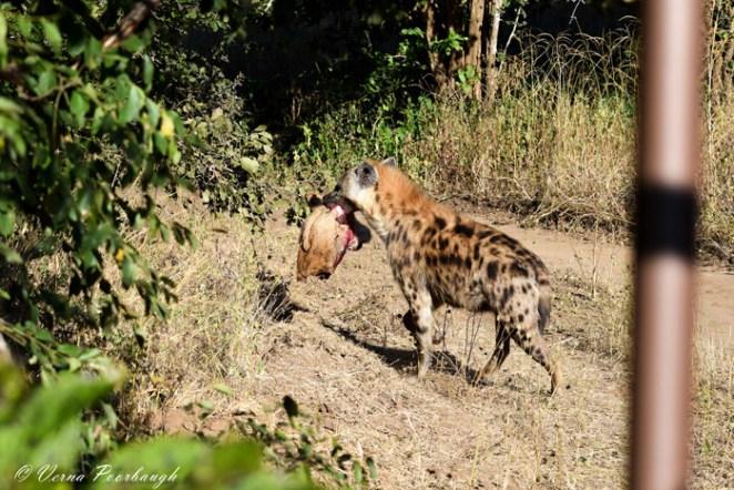 hyena-kill-lions-head