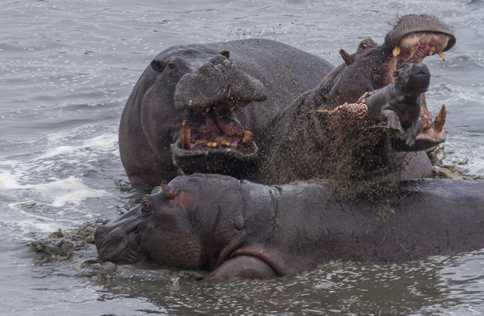 Image result for hippos are assholes