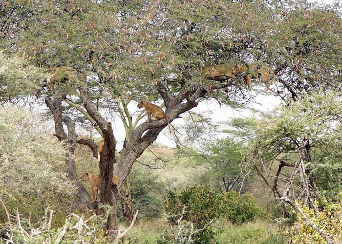 tree-climbing-lions-serengeti