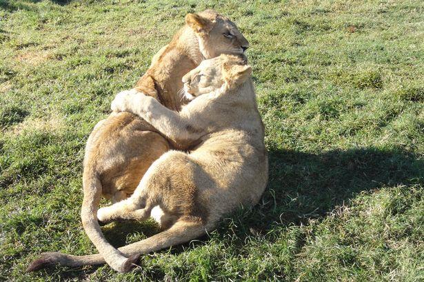 Lions-at-a-lion-farm